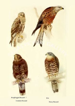 Roughlegged Buzzard, Common Buzzard, Kite & Honey Buzzard